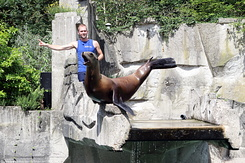 #5024 California Sea Lion - Artis Royal Zoo Amsterdam (Holland)