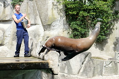 #5026 California Sea Lion - Artis Royal Zoo Amsterdam (Holland)