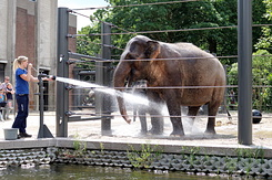 #5032 Asian Elephants - Artis Royal Zoo Amsterdam (Holland)