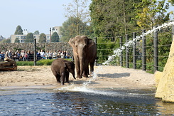 #5040 Asian Elephants - Artis Royal Zoo Amsterdam (Holland)