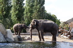 #5333 Asian Elephants - Artis Royal Zoo Amsterdam (Holland)