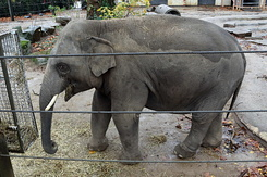 #5414 Asian Elephant - Antwerp Zoo (Belgium)