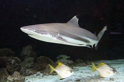#5422 Blacktip Reef Shark - Antwerp Zoo (Belgium)