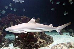 #5425 Blacktip Reef Shark - Antwerp Zoo (Belgium)
