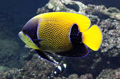 #5429 Blue-Girdled Angelfish - Antwerp Zoo (Belgium)