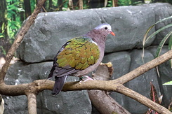#5481 Common Emerald Dove - Antwerp Zoo (Belgium)