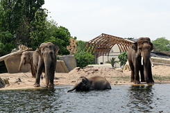 #5627 Asian Elephants - Artis Royal Zoo Amsterdam (Holland)
