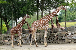 #5632 Reticulated Giraffes - Artis Royal Zoo Amsterdam (Holland)