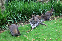 #5636 Bennett's Wallabies - Artis Royal Zoo Amsterdam (Holland)