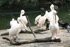 #107 Great White Pelicans - Artis Royal Zoo Amsterdam (Holland)