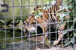 #117 Sumatran Tiger - Artis Royal Zoo Amsterdam (Holland)