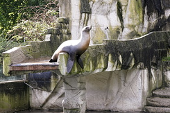 #121 California Sea Lion - Artis Royal Zoo Amsterdam (Holland)