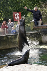 #122 California Sea Lion - Artis Royal Zoo Amsterdam (Holland)