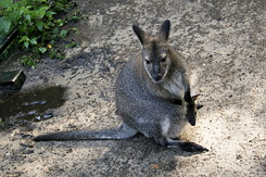 #125 Bennett's Wallabies - Artis Royal Zoo Amsterdam (Holland)