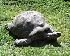 #393 Galapagos Tortoise - Auckland Zoo (New Zealand)