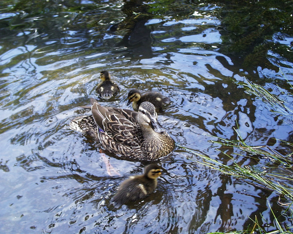 20021112-45 Ducks - Auckland Zoo (New Zealand).jpg