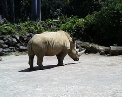 #403 Southern White Rhinoceros - Auckland Zoo (New Zealand)