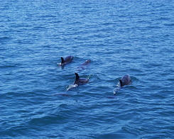 #638 Dolphins - Bay of Islands Cruise (New Zealand)