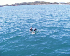 #640 Baby dolphins playing - Bay of Islands Cruise (New Zealand)
