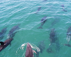 #641 Many dolphins - Bay of Islands Cruise (New Zealand)