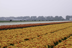 #773 Bulb fields - white red-yellow and yellow-red