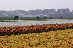 #774 Bulb fields - white red-yellow and yellow-red