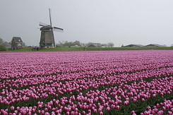 #781 Pink Flag Tulips