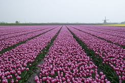 #784 Bulb fields - pink and a little bit yellow