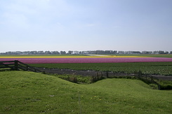 #789 Dutch Bulb Fields