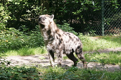 #858 Spotted Hyena - Amersfoort Zoo (the Netherlands)