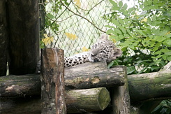 #860 Young Persian Leopard - Amersfoort Zoo (the Netherlands)