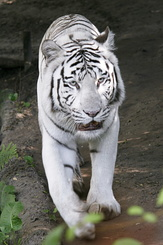 #863 White Tiger - Amersfoort Zoo (the Netherlands)