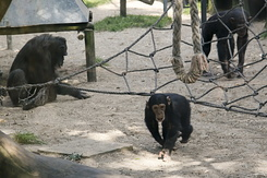 #868 Chimpanzees - Amersfoort Zoo (the Netherlands)