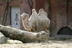 #1199 Bactrian Camel - Amersfoort Zoo (the Netherlands)