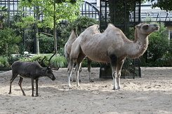 #1200 Reindeer and Bactrian Camel (Artis Zoo - Amsterdam)