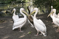 #1243 Great White Pelicans (Artis Zoo - Amsterdam)