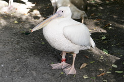 #1244 Great White Pelican (Artis Zoo - Amsterdam)