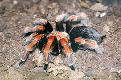 #1253 Mexican Red-kneed Tarantula (Artis Zoo - Amsterdam)