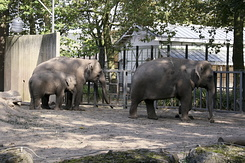 #1297 Asian Elephants (Artis Zoo - Amsterdam)