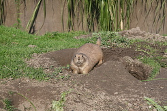 #1654 Black-tailed Prairie Dog - Rotterdam Zoo (Holland)