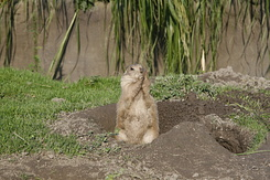 #1655 Black-tailed Prairie Dog - Rotterdam Zoo (Holland)
