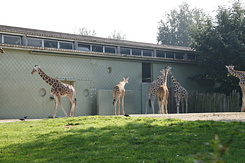 #1663 Reticulated Giraffes - Rotterdam Zoo (Holland)