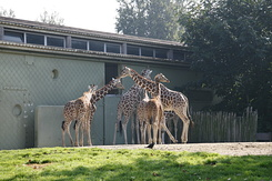 #1664 Reticulated Giraffes - Rotterdam Zoo (Holland)
