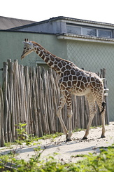 #1666 Reticulated Giraffe - Rotterdam Zoo (Holland)