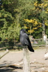 #1668 Carrion Crow - Rotterdam Zoo (Holland)