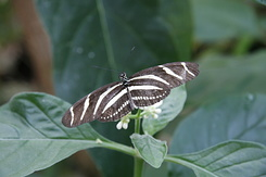 #1680 Zebra Longwing - Rotterdam Zoo (Holland)