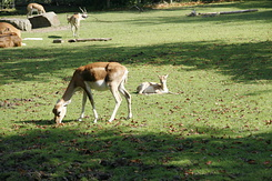 #1687 Blackbuck with young - Rotterdam Zoo (Holland)