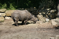 #1688 Indian Rhinoceros - Rotterdam Zoo (Holland)