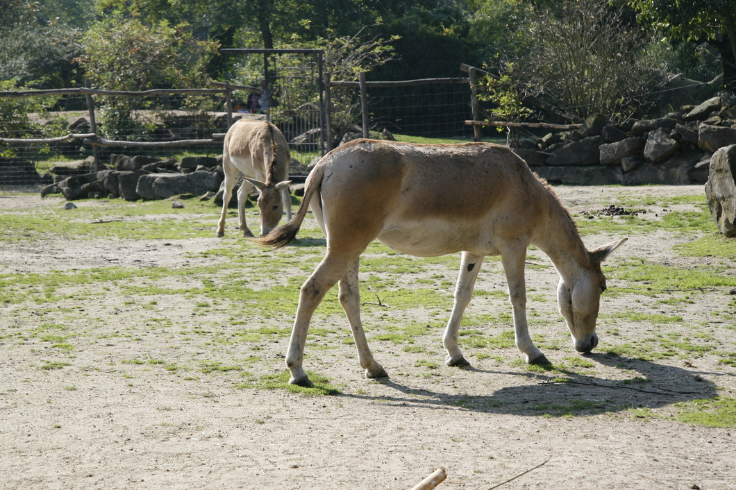 #1690 Persian Onager - Rotterdam Zoo (Holland)