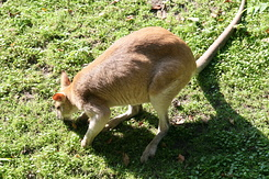 #1695 Agile Wallaby - Rotterdam Zoo (Holland)